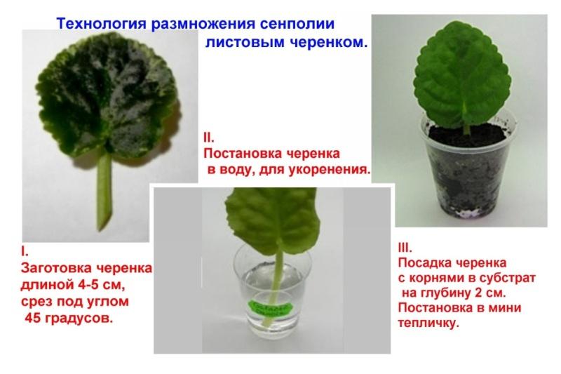 узамбарская фиалка или сенполия 11391210