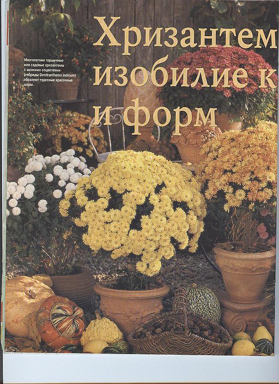 хризантема 13374712