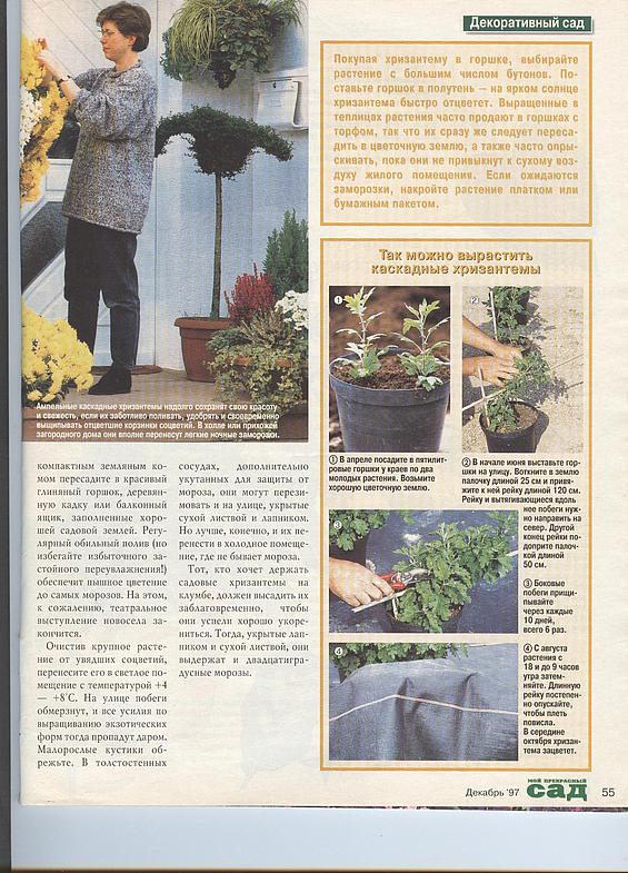 хризантема 13374715