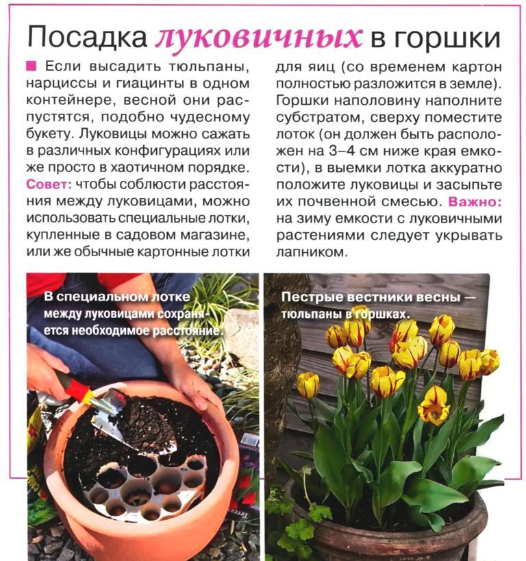 Выгонка луковичных растений 151010