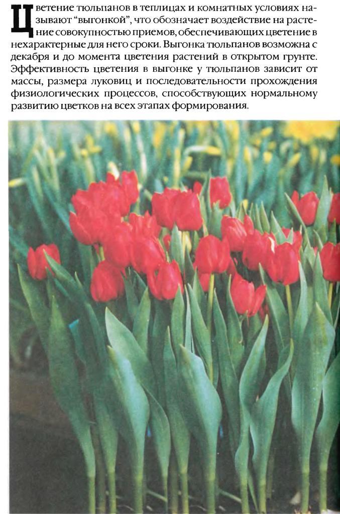 Выгонка луковичных растений 15510