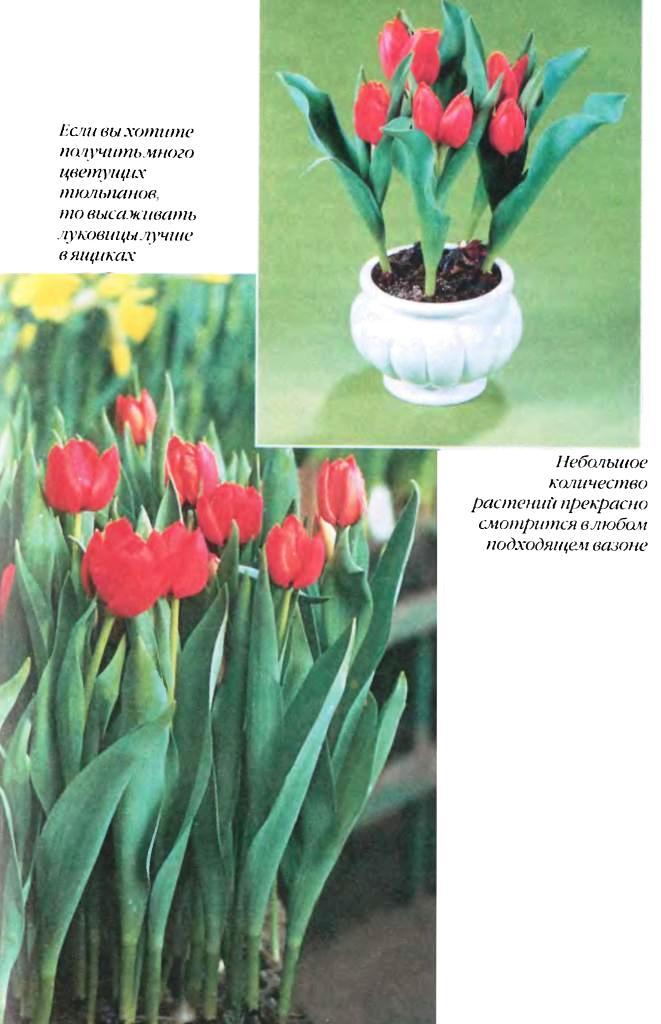 Выгонка луковичных растений 15610