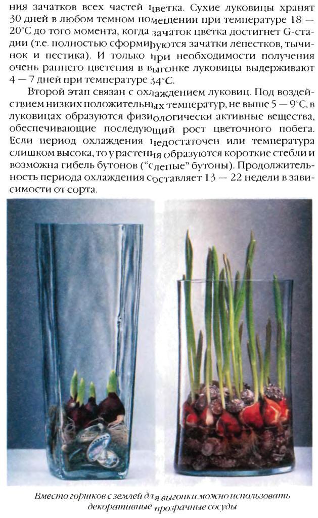 Выгонка луковичных растений 15810