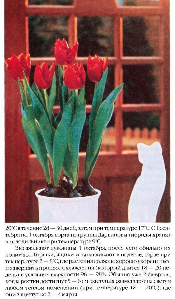 Выгонка луковичных растений 16110
