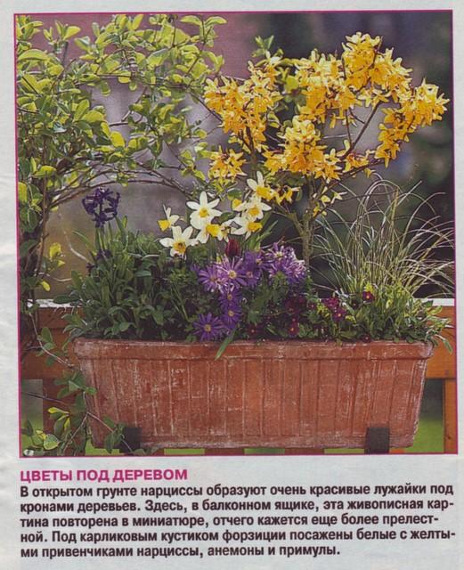 Выгонка луковичных растений 210ae711