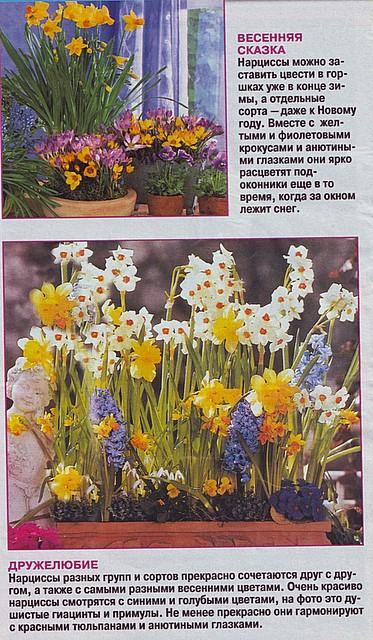 Выгонка луковичных растений 69194611