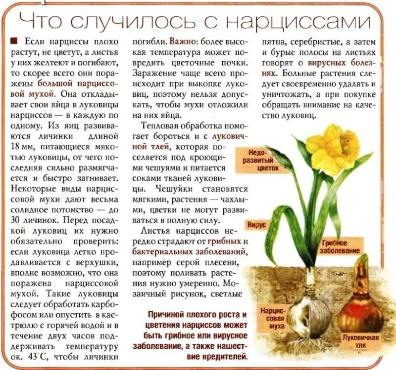 Выгонка луковичных растений 731010