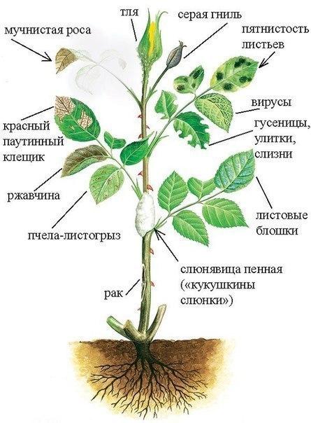 вредители комнатных растений Alwd0l11