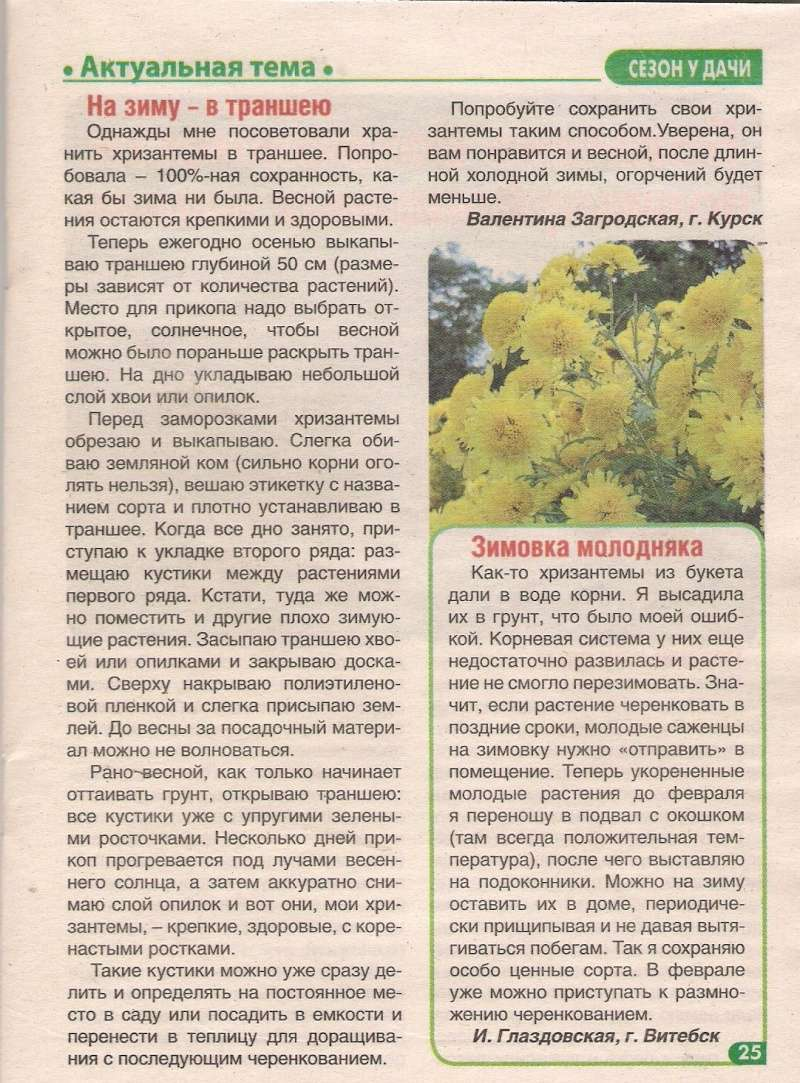хризантема B-631510