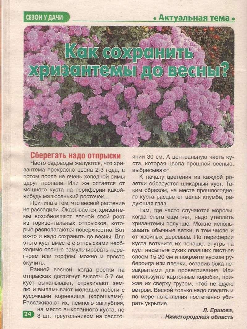 хризантема B-631610