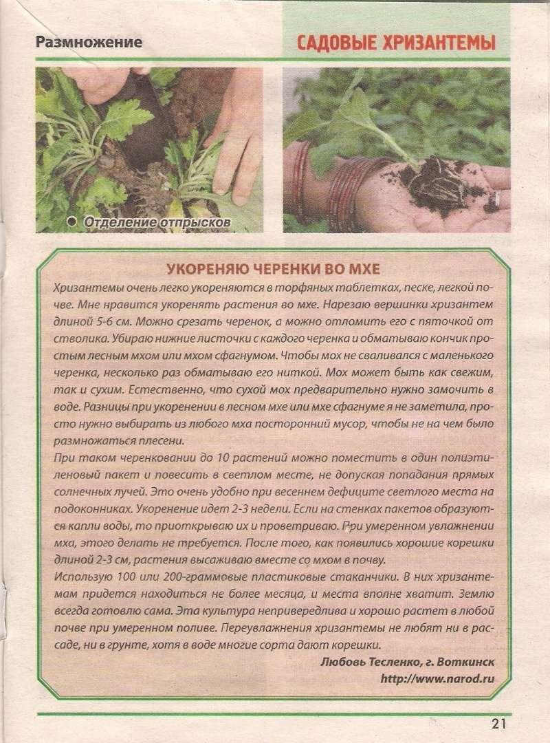 хризантема B-632010