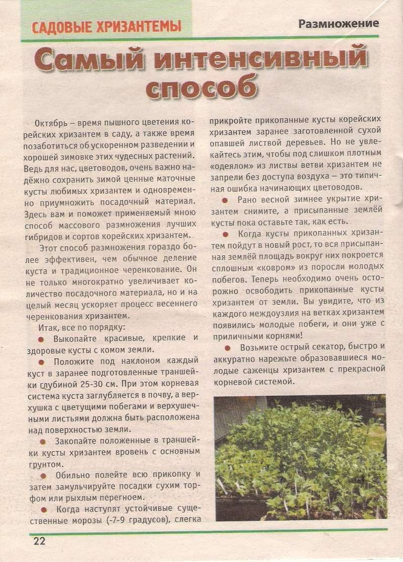хризантема B-632110