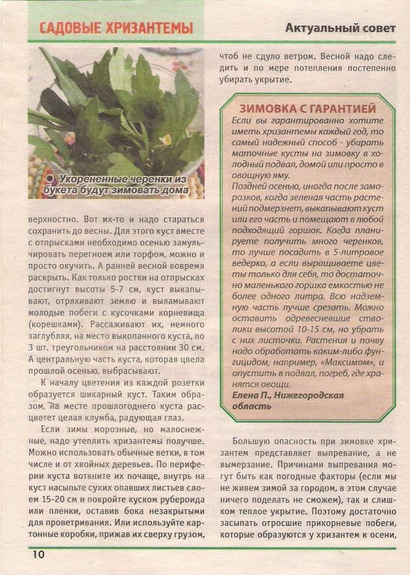 хризантема B-632410