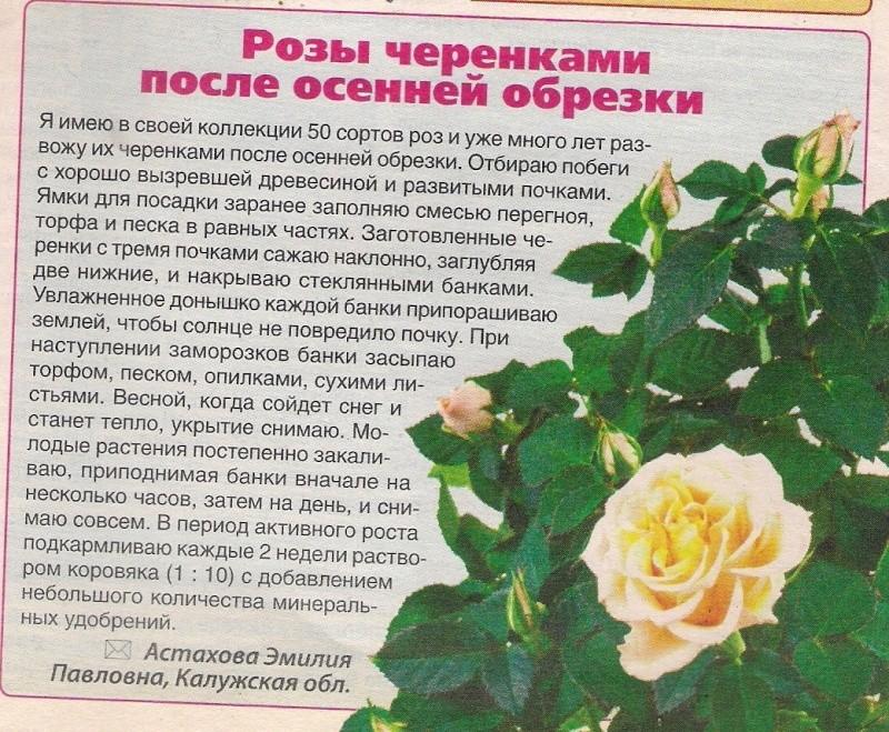 комнатная роза B-641610