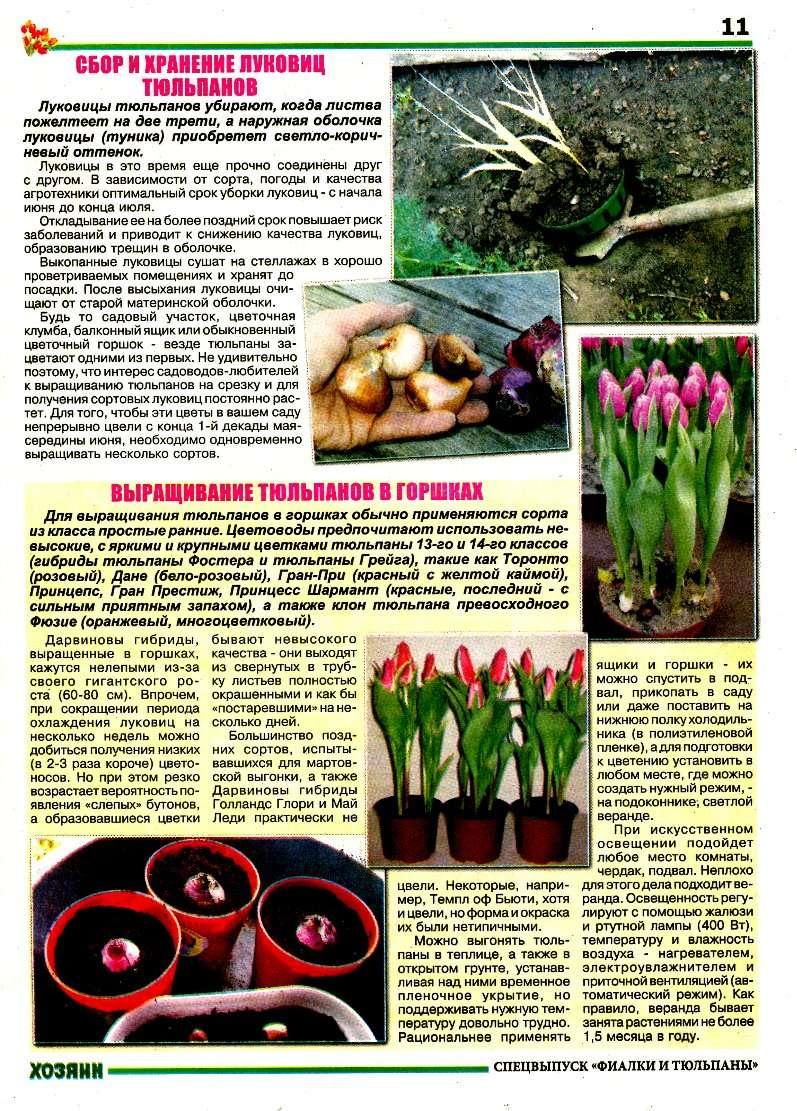 Выгонка луковичных растений C3924b10