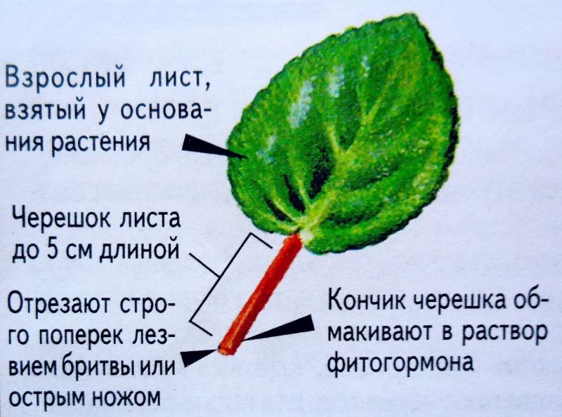 узамбарская фиалка или сенполия D0bed110