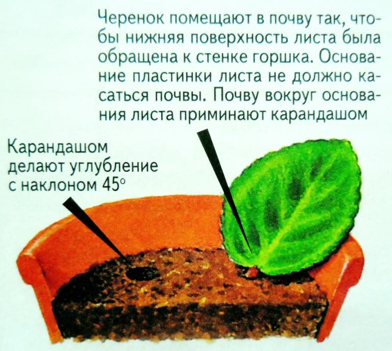 узамбарская фиалка или сенполия D0bfd010