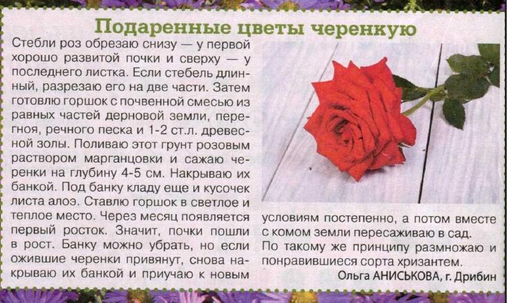 комнатная роза Ea10