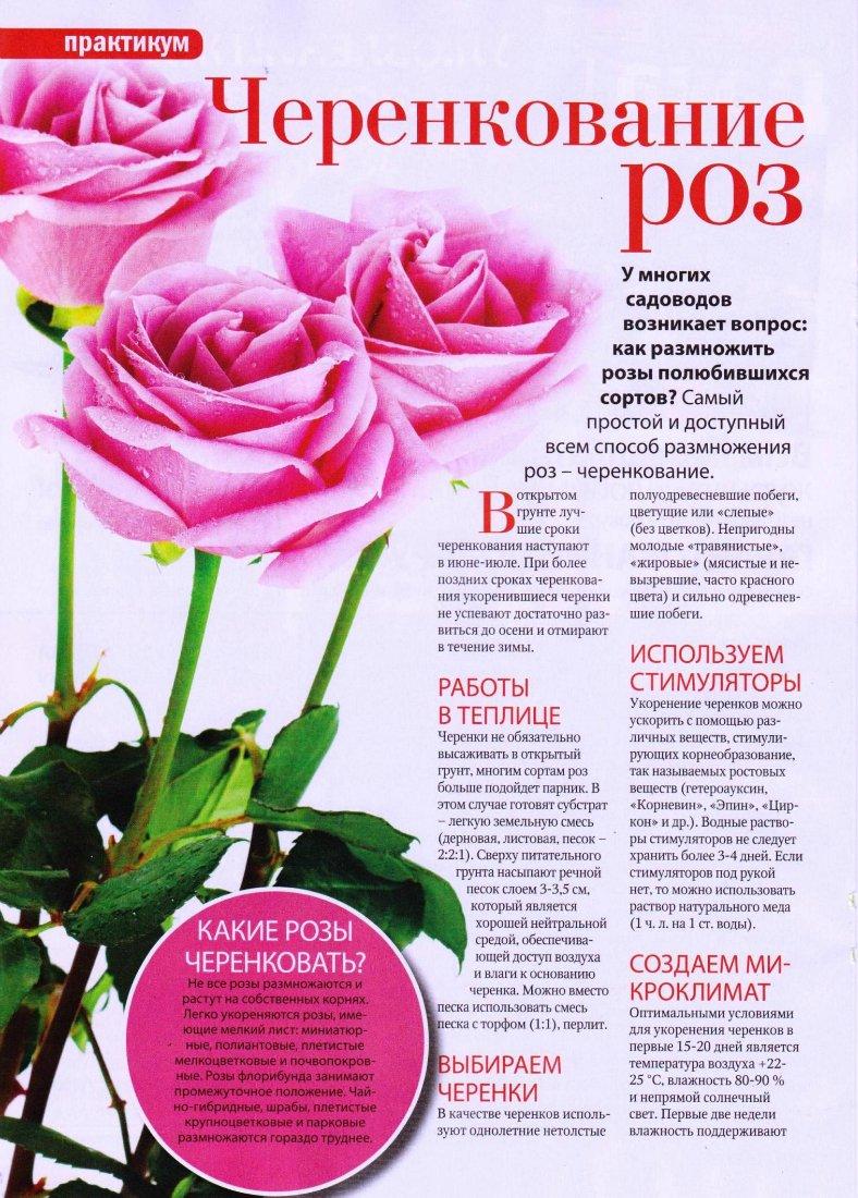 комнатная роза Ffa2b210