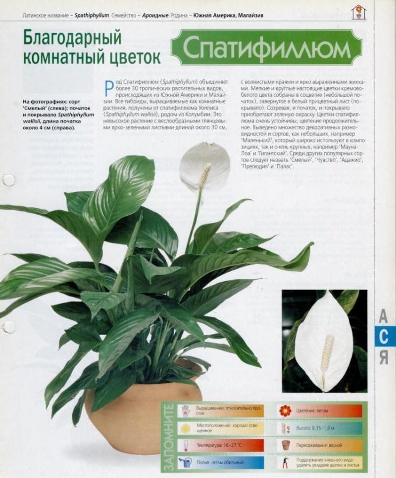 Спатифиллюм (Спатифиллум Hu6zyj10