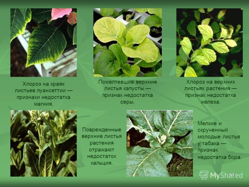Болезни комнатных растений Ibjsu510