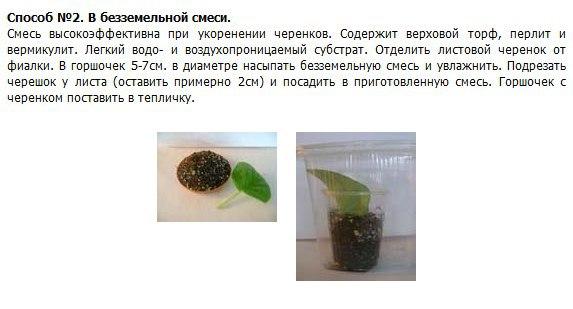 узамбарская фиалка или сенполия In3avj10