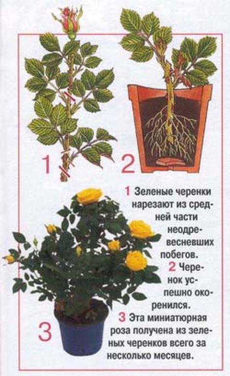 комнатная роза Lgds8r10