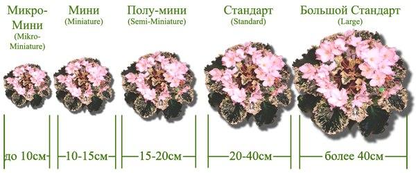 узамбарская фиалка или сенполия Mfa3fe10