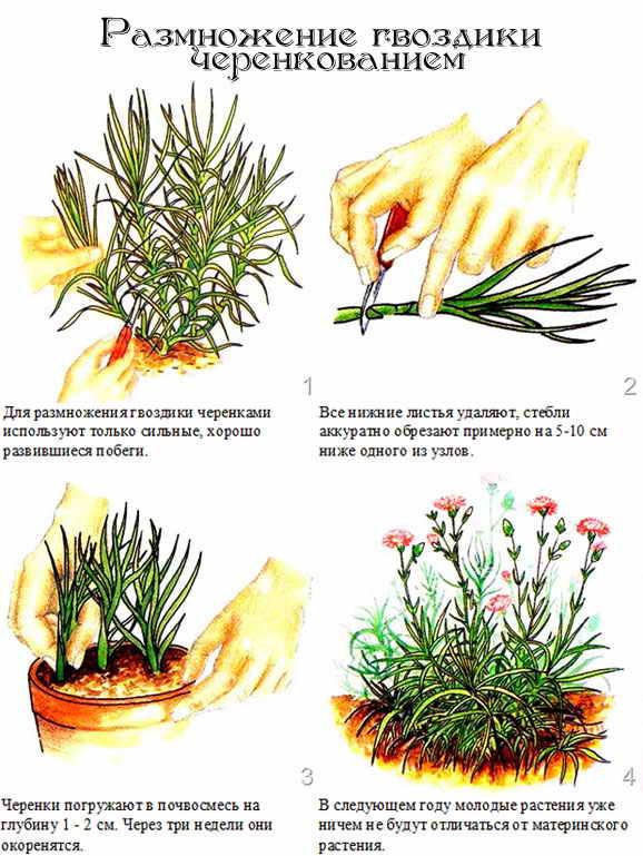 статьи о растениях из  газет и журналов - Страница 2 Razmno10