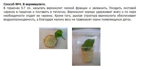 узамбарская фиалка или сенполия Vhnrrn10