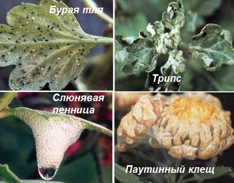 хризантема Vredit10