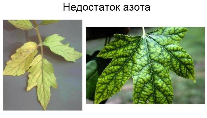 Болезни комнатных растений Wasqai10