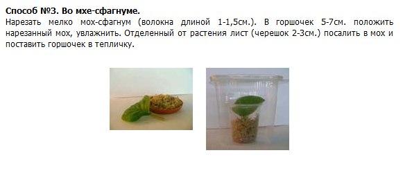 узамбарская фиалка или сенполия Ydgi9o10