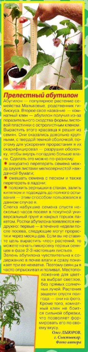 Абутилон уход и посадка Yia_0210