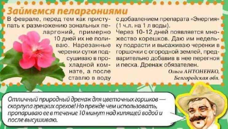 Пеларгония (Герань) Yia_0410