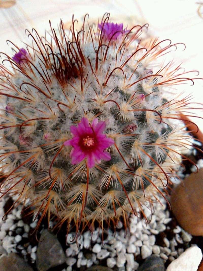 ID Mammillaria please. Mir_2011