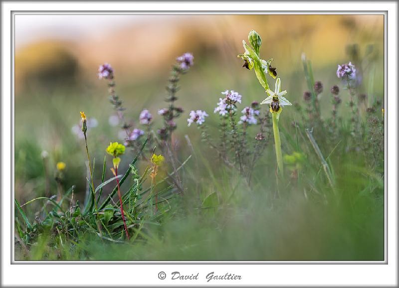 Les premiers ophrys splendida ? _d2o0310