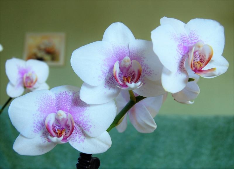 Meine Orchideen Dsc_0010
