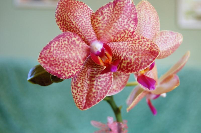 Meine Orchideen Dsc_0011