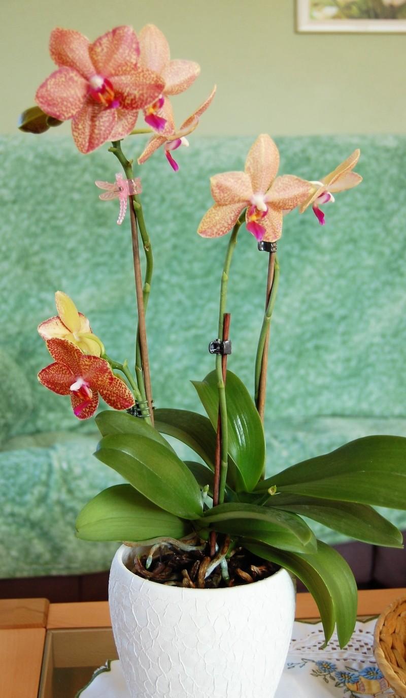 Meine Orchideen Dsc_0012
