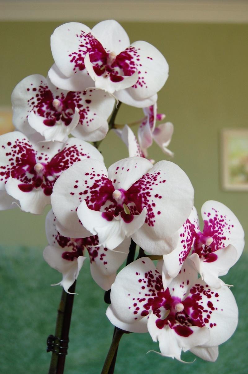 Meine Orchideen Dsc_0013