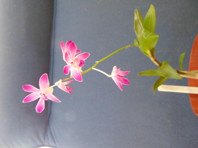 Dendrobium kingianum Dendro10