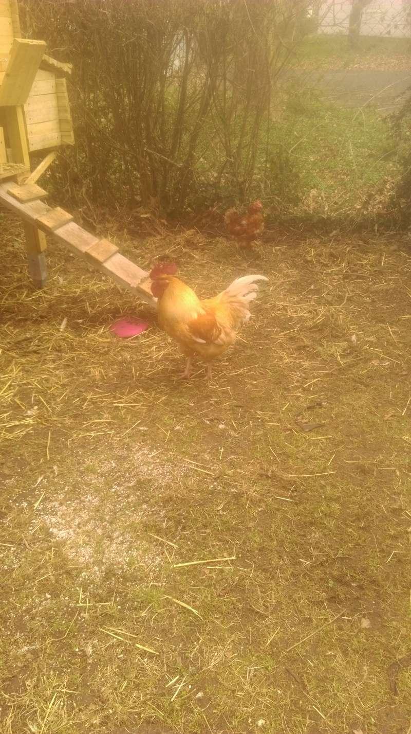 Présentation de mes poules et coq roux. Imag0111