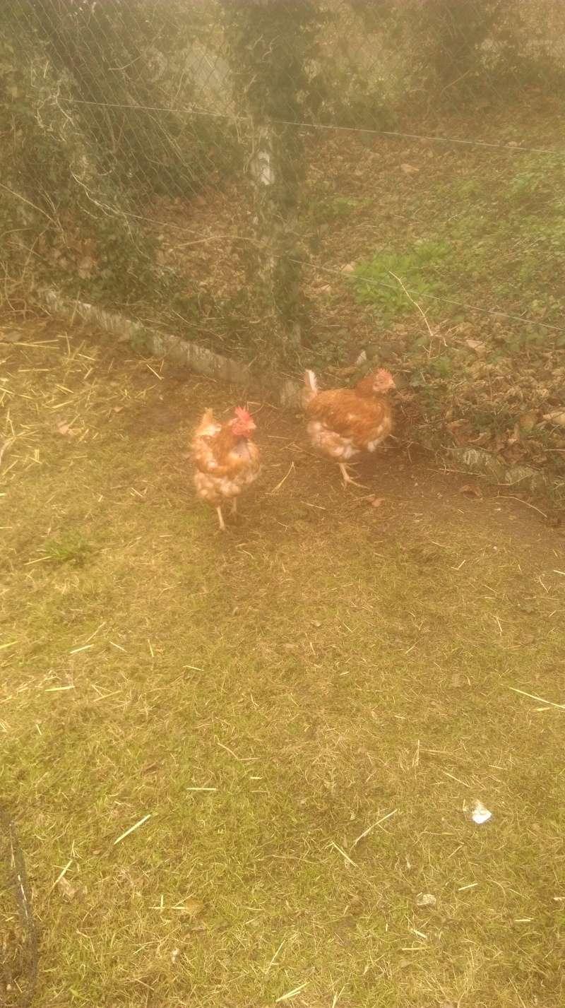 Présentation de mes poules et coq roux. Imag0113