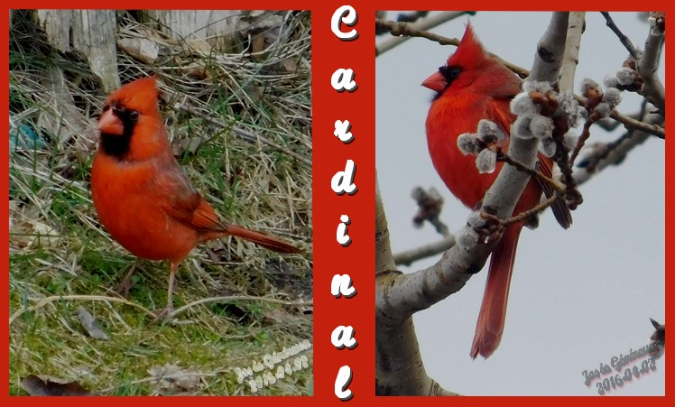 Enfin le cardinal rouge... A001ca10