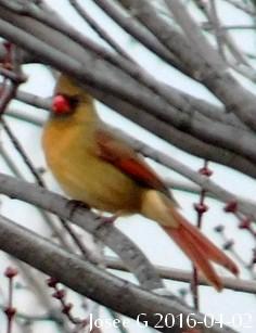 Cardinal jaune ou autre ???? Cardin10