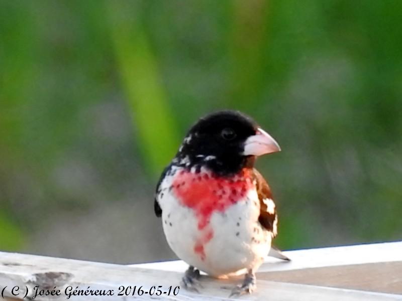 Cardinal a poitrine rose , un p'tit nouveau chez moi ce soir  Cardin13
