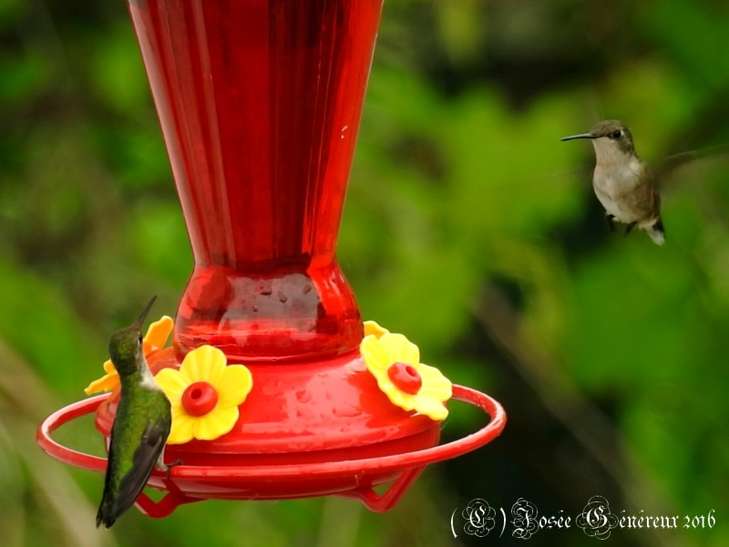 2 colibris qui se sucrent le bec  Colibr11