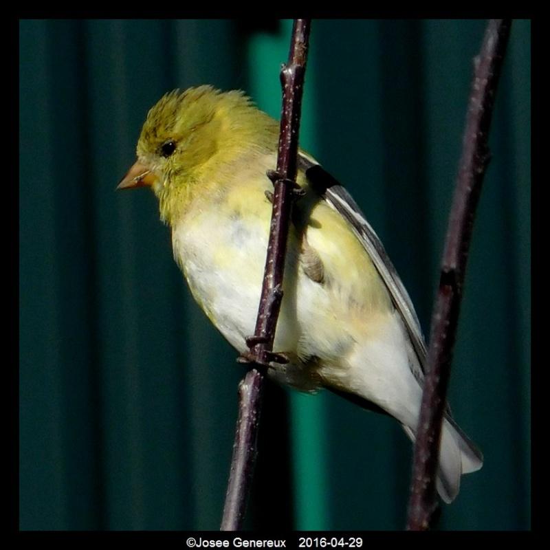 chardonneret jaune  Dscn7911