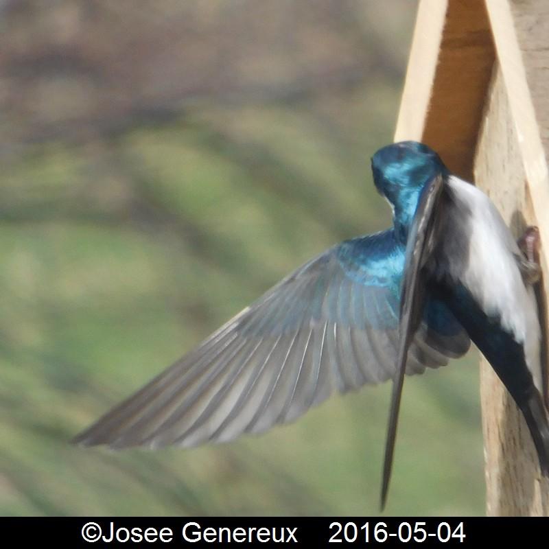 Hirondelle Bcolore Tites nouvelles visitent mes cabanes ce matin, mais problème d'étourneaux GRRR Hirond10